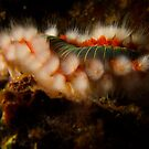 Bearded Fire Worm  by markosixty6