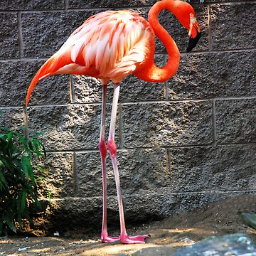 Standing Flamingo by camerainhand