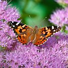 Painted Lady Butterfly  by Gypsykiss