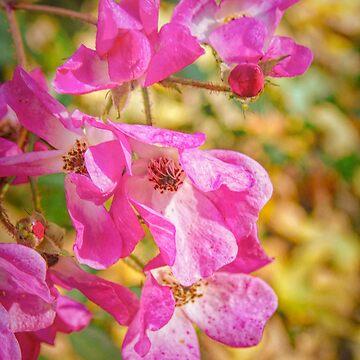 Ballerina Rose in Autumn by MAMMAJAMMA
