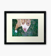 pit bull gaze Framed Print
