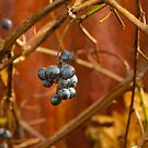Wild Grapes by Marilyn Cornwell