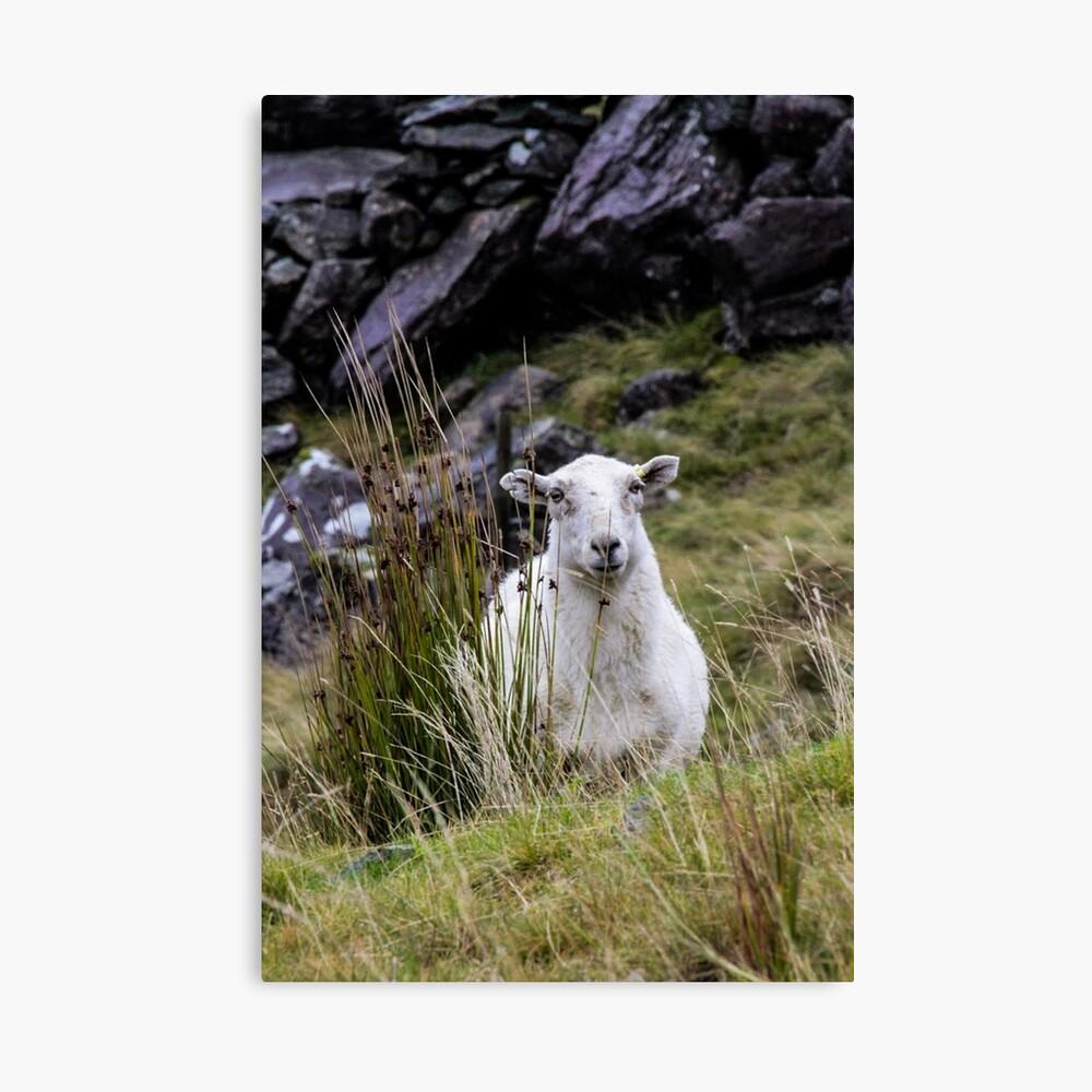 Welsh Sheep Canvas Print