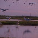 Sand Cranes settling in for the evening by the57man
