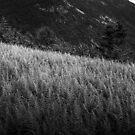 Sunlight on Ferns on Mount Willard by Wayne King