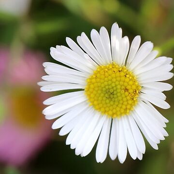 White Daisy by STHogan