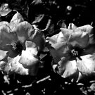 Winter Park Roses in Black and White by justminting