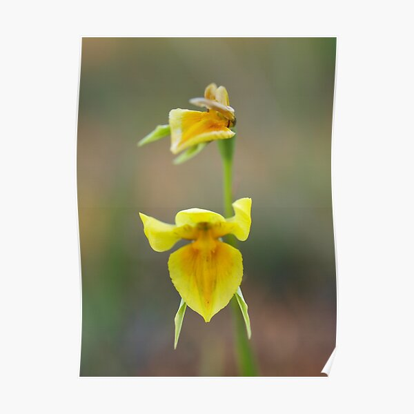 Wild-Flowers of the Goldfields - Native Orchid Yellow  II Poster