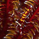 Shrimp on red crinoid  by Stephen Colquitt