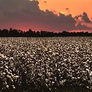 Cotton Field at Sunset - Please read the description by barnsis