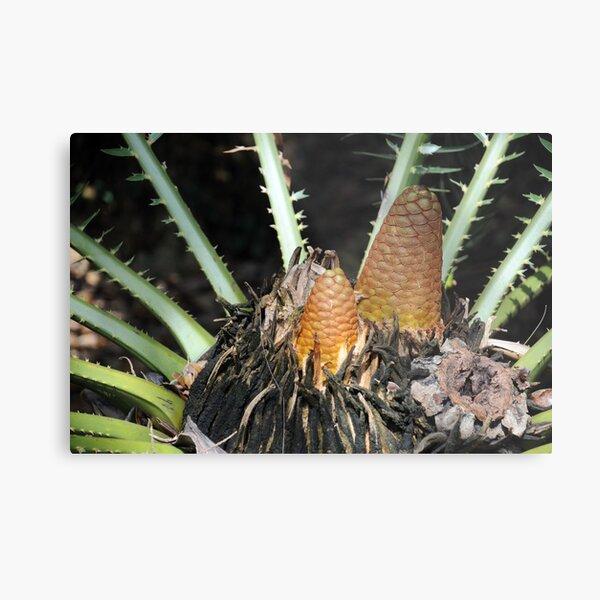 Encephalartos pterogonus Metal Print