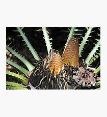 Encephalartos pterogonus Photographic Print