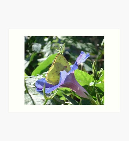 Sulphur Butterfly  in Morning Glory 2 Art Print
