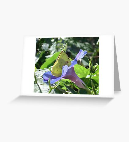 Sulphur Butterfly  in Morning Glory 2 Greeting Card