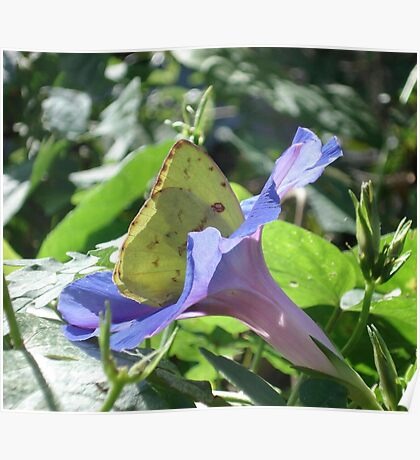 Sulphur Butterfly  in Morning Glory 2 Poster