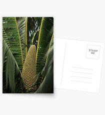 Microcycas calocoma Postcards