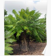 Cycas micronesica Poster