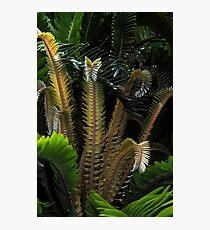 Encephalartos woodii Photographic Print