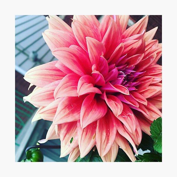 """Pink Dahlia"" Photographic Print"