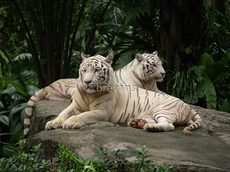 Quot Two White Siberian Tiger S Laying Down Quot By Brevans