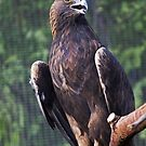 Golden Eagle by Sue  Cullumber
