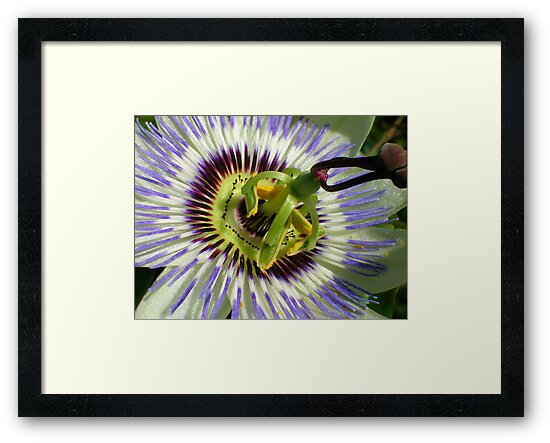 Passionflower by Fay  Hughes