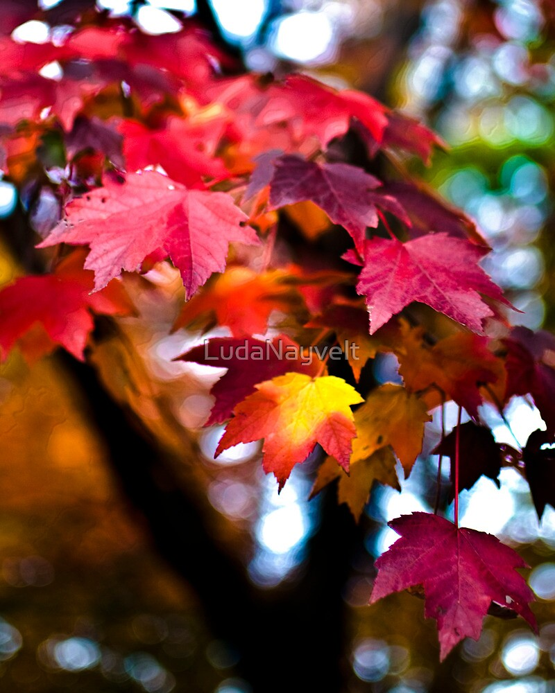 Colors of Maple by LudaNayvelt