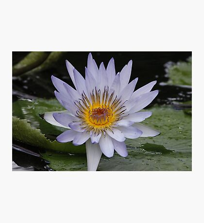 Water Lily Photographic Print