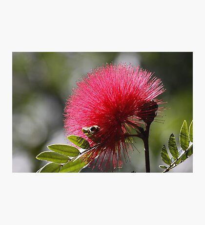 Monkey Pod Flower Photographic Print