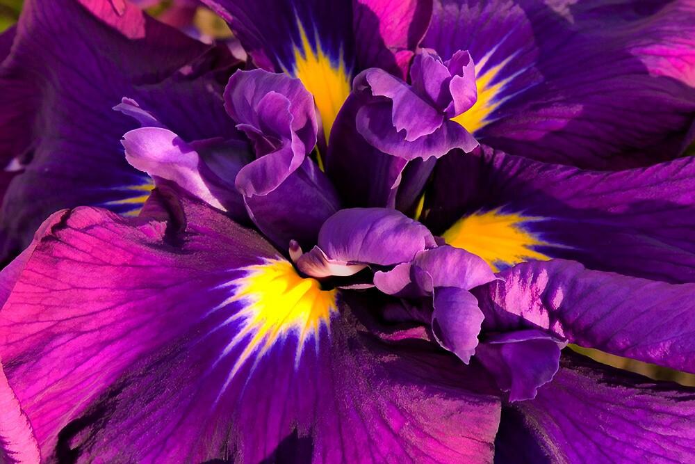 Japanese Iris by TeresaB