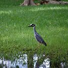 Yellow Crowned Night Heron???? by zpawpaw
