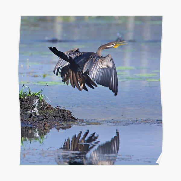 NT ~ MARINE BIRD ~ Australiasian Darter SKLRZ87D by David Irwin ~ WO Poster
