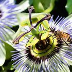 Wild passion flower 001 by kevin Chippindall