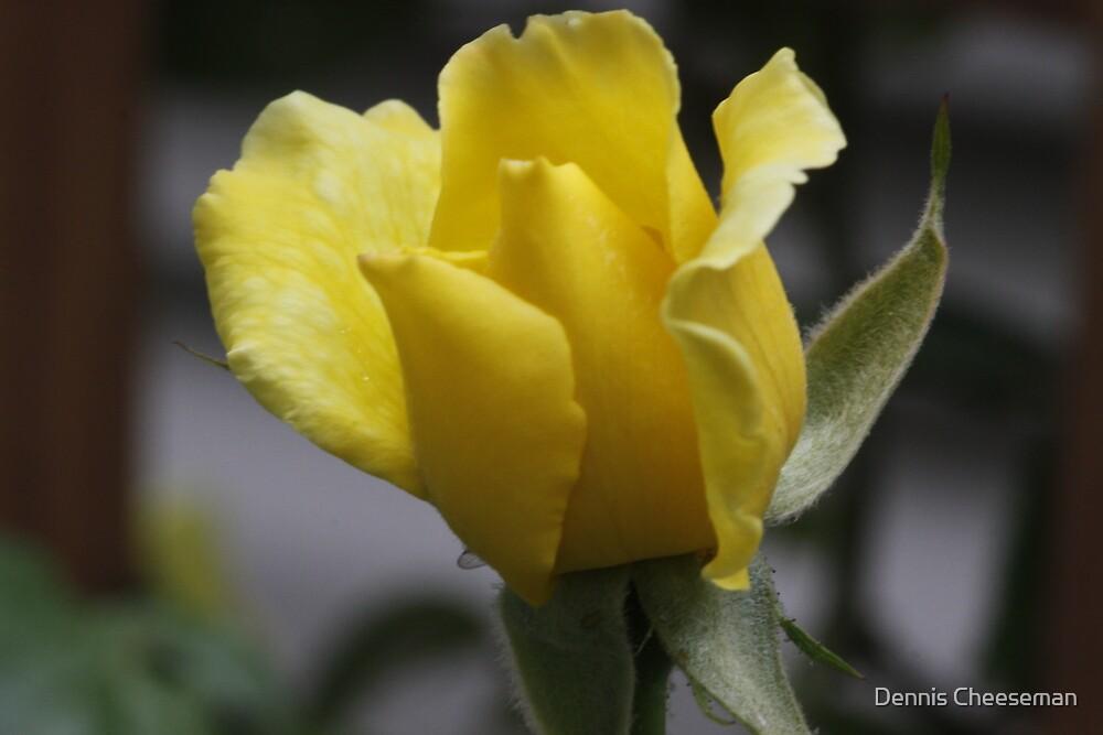 Yellow Rose by Dennis Cheeseman