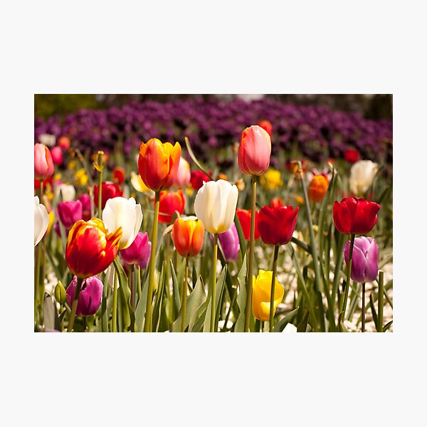 Spring Flowers in Bloom Photographic Print
