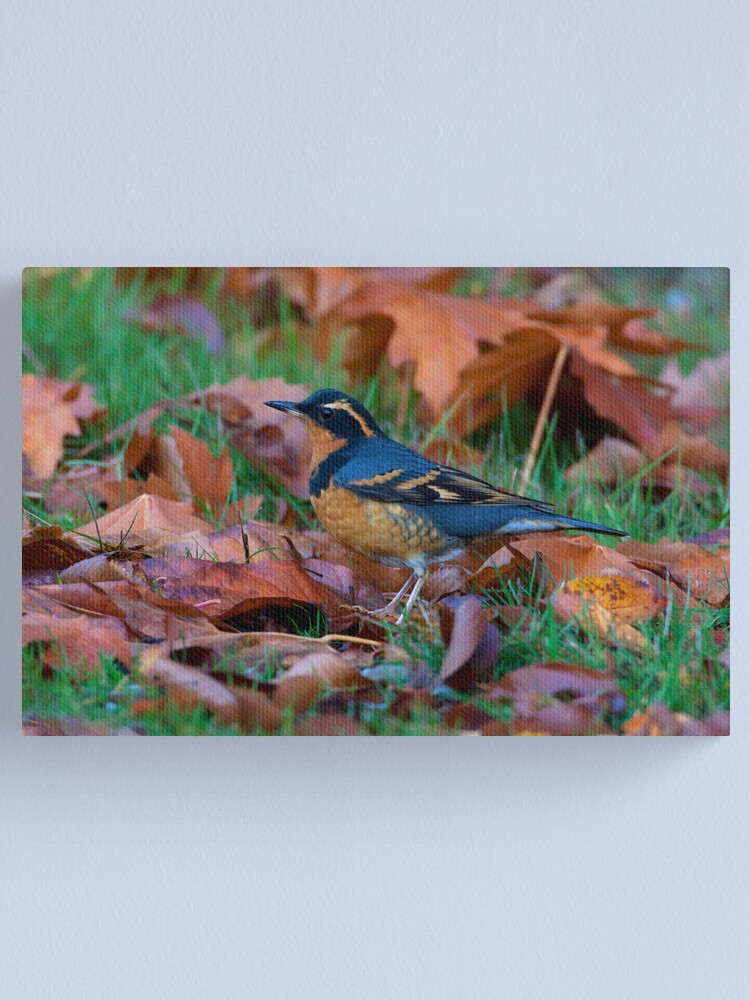 Alternate view of Varied  Thrush, Autumn Leaves Canvas Print