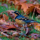 Varied  Thrush, Autumn Leaves by Martin Smart