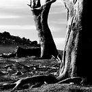 Forest Skeletons...Victoria,Australia by graeme edwards