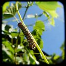 caterpiller by Northcote Community  Gardens