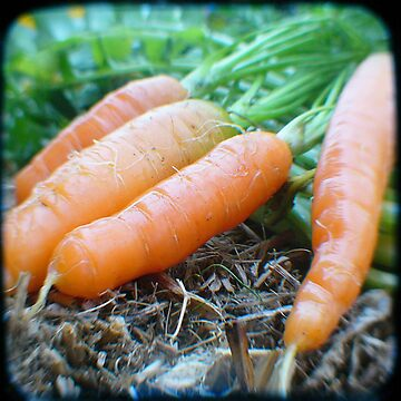 Marijka's carrots by NCGardens