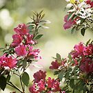Spring Blooming Azaleas by Jonicool