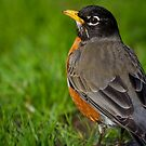 Robin in the Grass by journeysincolor