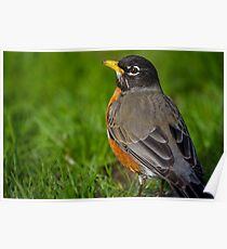 Robin in the Grass Poster