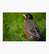 Robin in the Grass Photographic Print