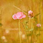Mohnblumen in einem goldenen Feld von WilWil-G