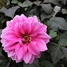 How to grow Dahlias by DonnaMoore