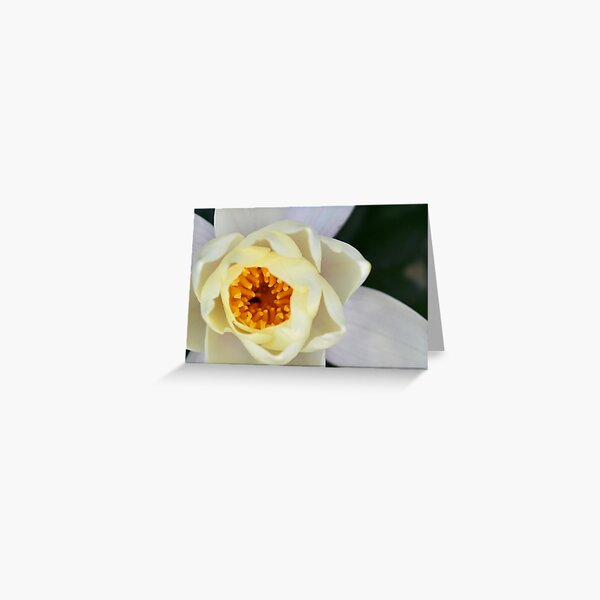 White Lilly 2 Greeting Card