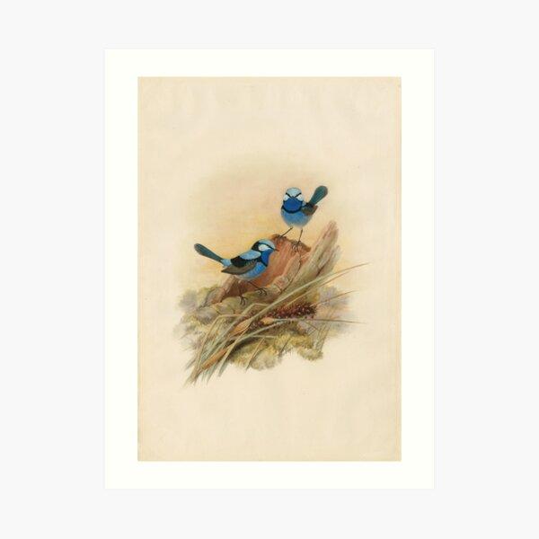 Splendid fairy wren, circa 1867 Art Print