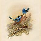 Splendid fairy wren, circa 1867 by State Library of South Australia