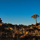 Quiver Tree in Garas by vrphotographysa